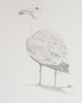Seagull , Skerries